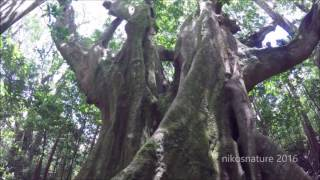 getlinkyoutube.com-Very Special Ancient Rudraksha Tree Forest- the SNAKE and ALTAR trees