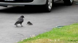 getlinkyoutube.com-3 Northwestern Crows vs. a Rat (Part 1)