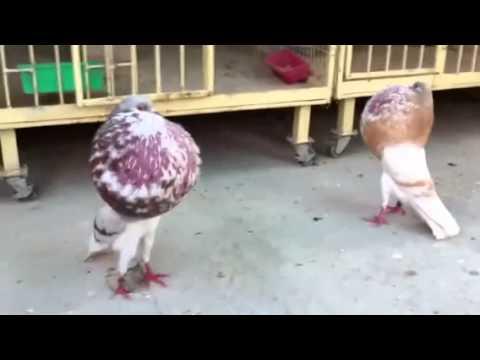 Kursaklarını Şişirebilen Balon Güvercinleri