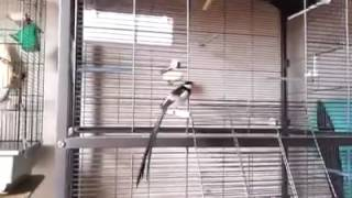 burung ekor panjang afrika VEUVE DOMINICAINE