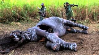getlinkyoutube.com-Elephants: Blood Ivory