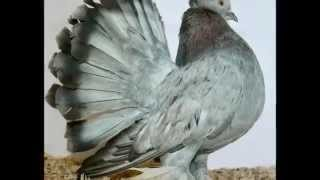 getlinkyoutube.com-Indian Fantail Pigeons Various Colors and markings WWW.PigeonBreed.Com