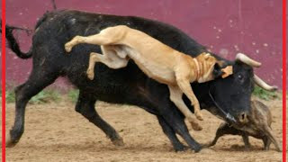 getlinkyoutube.com-when victims fight back: dog takes down a bull