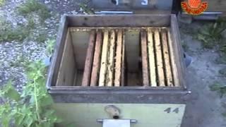 Повышения качества пчелосемей ч2