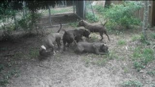 getlinkyoutube.com-Coyote PitBulls Florida - Blue Bully Pit Bulls Playing