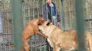 getlinkyoutube.com-Two Lions and a Dog