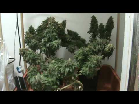 Medical Cannabis - Querkle - Harvest Fan Leaves Removed