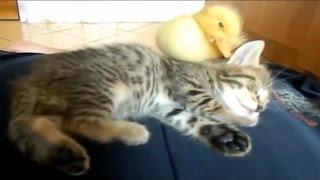 Video Kucing Dengan Anak Bebek Lucu Banget