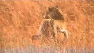 getlinkyoutube.com-Leopardo Cazando Kananga 2010 Memorias de Africa