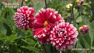 getlinkyoutube.com-《4K動画》四季の花公園2014(SONY FDR-AX100、Panasonic HX-A500)