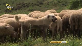 getlinkyoutube.com-Sadık Dostlar Sürü Köpekleri