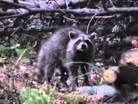 Shooting raccoons with bow
