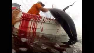 getlinkyoutube.com-big tuna fishing in Peru  2014 by nspe