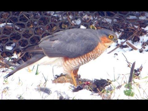 Eurasian Sparrowhawk - In Focus