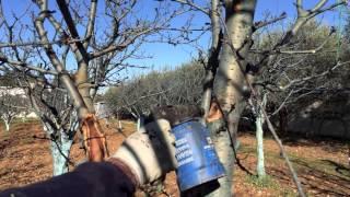 getlinkyoutube.com-Come salvare un albero di ciliegio - 1a parte