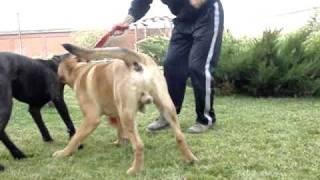 getlinkyoutube.com-dog argentinian vs  presa canario vs cane corso