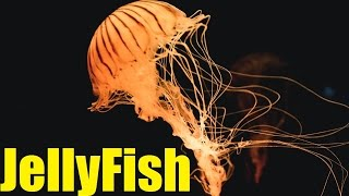 Facts about Jellyfish. Jellyfish Explained 2017. Jellyfish sting symptoms. TheCoolFactShow Ep17