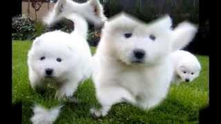 getlinkyoutube.com-Top 10 Perros más caros de la Historia
