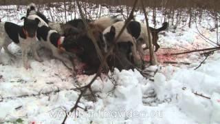 getlinkyoutube.com-Wild Boar Drive Hunting In Hungary Nagykanizsa (HD)