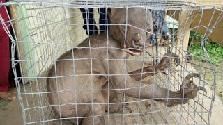 getlinkyoutube.com-EXTRAÑO ANIMAL CAPTURADO Y MALTRATADO DESTROZA LA JAULA DE HIERRO A MORDISCOS (URSIDO-OSO)