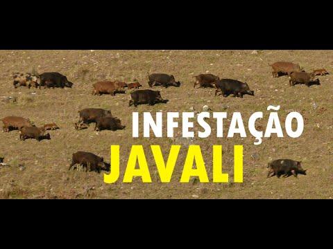 Infestação Javalis no Oeste Catarinense