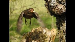 getlinkyoutube.com-Nikon coolpix P900. birds in slow motion  H264/120