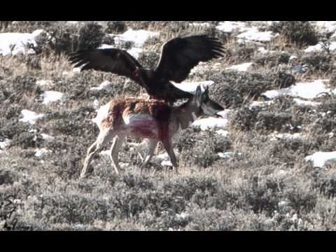 Eagle Kills Antelope