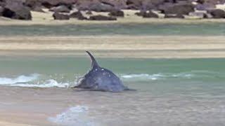 getlinkyoutube.com-Hydroplaning Dolphins - BBC Planet Earth
