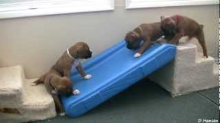 getlinkyoutube.com-Cute 4 Week Old Boxer Puppies Playing
