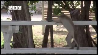 getlinkyoutube.com-Monyet Mabuk Lucu