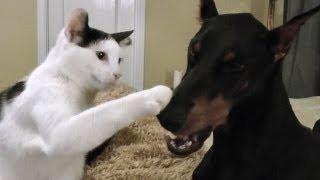 getlinkyoutube.com-Pancake the kitten loves his Doberman