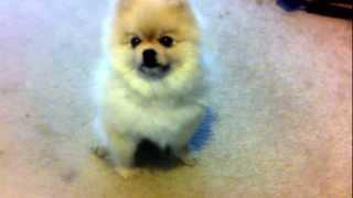 getlinkyoutube.com-Pomeranian BARK!