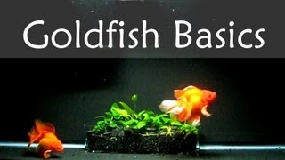 getlinkyoutube.com-Goldfish Care Basics : Tank Size