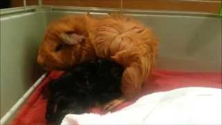 getlinkyoutube.com-Our guinea pig Daisy gives birth!!