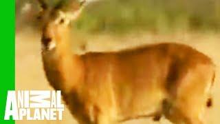 getlinkyoutube.com-Snake Regurgitates Antelope