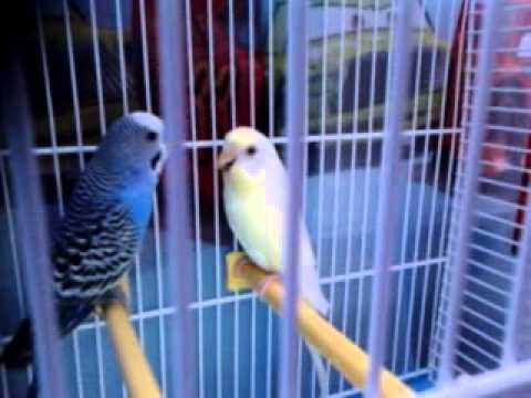 Papagali vorbitori pe nunume roco si coco
