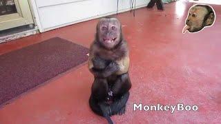 getlinkyoutube.com-Capuchin Monkey Cry Baby!