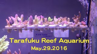 getlinkyoutube.com-May.29.2016 たらふく Reef Aquarium
