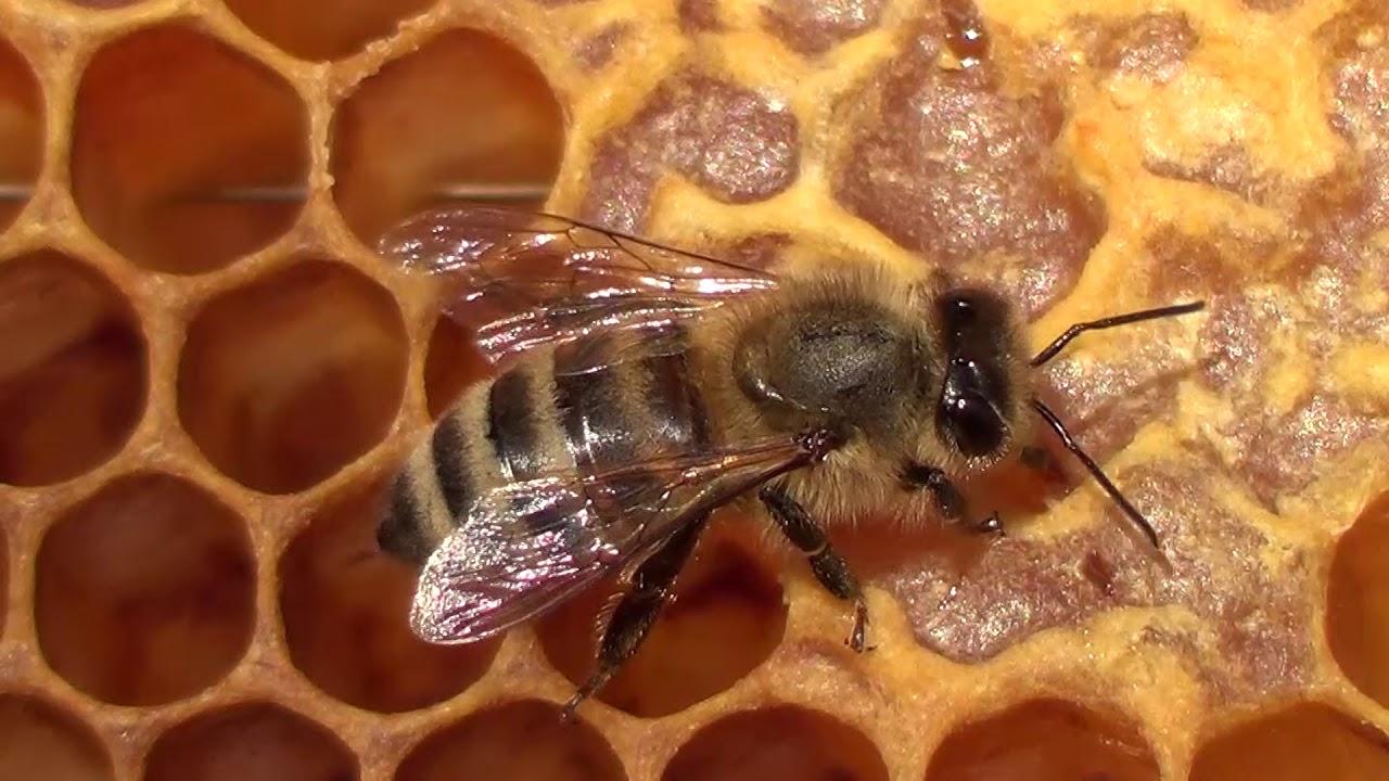 Pčela i med 4