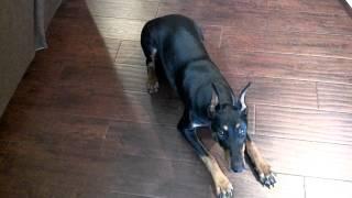 getlinkyoutube.com-Smartest Dog in the World