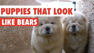 Puppies That Look Like Bears Video Compilation 2017