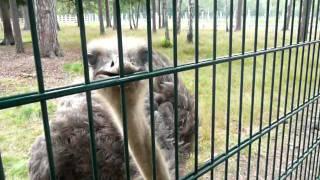 Глупый страус
