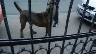 getlinkyoutube.com-Dogo argentino vs Cane corso