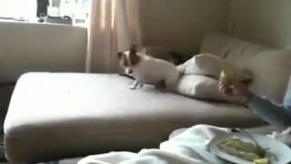 Пёс ест лимо́н