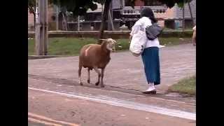 getlinkyoutube.com-Cabra aterroriza personas por la calle.