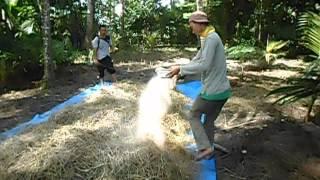 getlinkyoutube.com-fermentasi jerami padi untuk pakan sapi & kambing dengan SOC di nisam, Aceh Utara