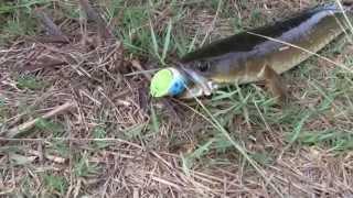 getlinkyoutube.com-ปลาช่อนบ่อร้าง กัดทุกไม้กัดทุกไม้ by LEOPARD frog