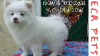 Pomeranian male and female puppies available for sale in Chennai.