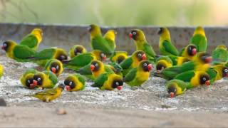 SUARA BURUNG : BURUNG LOVEBIRD DI ALAM BEBAS