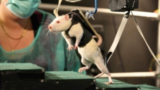 getlinkyoutube.com-Paralysed Rats Made To Walk Again
